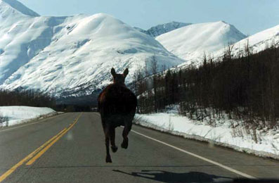 Moose on the run